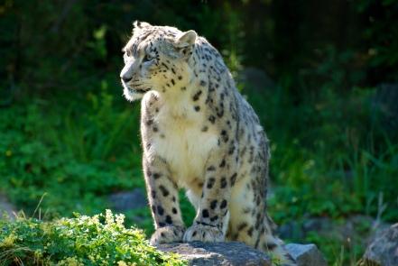 Uncia_uncia_-Zurich_Zoo,_Switzerland-8a_(3)